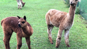 Waarom knuffelen met alpaca's niet zo'n goed idee is